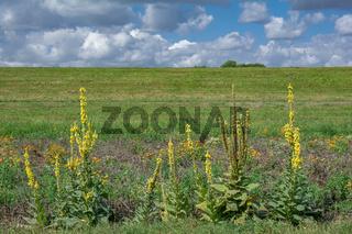 Koenigskerze(Verbascum densiflorum),Deutschland