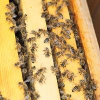 many honey bees