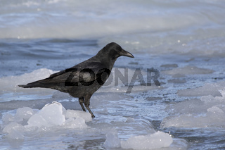carrion crow standing on ice near the shore