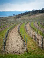 Landscape with vineyard in Burgenland