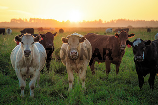 Cows in a field at sunset. Northern California, USA.