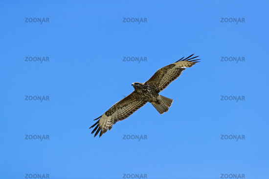 Common Buzzard in flight / Buteo buteo