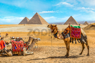 Camel family in Giza