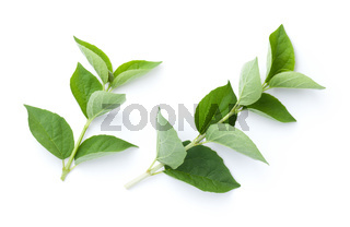 Fresh Jasmine Sprigs With Green Leaves Isolated