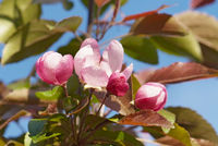 close up flowering branch of apple-tree
