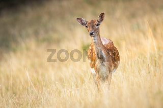 Attentive fallow deer doe watching and listening on a meadow with copy space