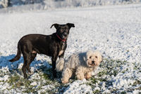 Dog couple - black and white dog in the snow