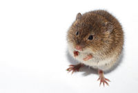 young little brown mouse on white background