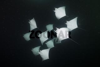 Zwerg-Teufelsrochen fressen Plankton bei Nacht, Mexiko