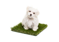 Cute Maltese Puppy Dog Sitting on Section of Artificial Turf Grass On White Background