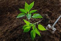 Planting bell pepper seedlings in the vegetable garden