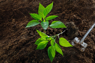 Paprika-Setzlinge ins Beet pflanzen