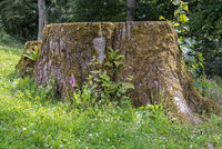 Proportion of a small foxglove in front of a large tree stump - close-up