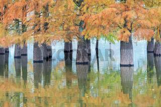 water fir in autumn