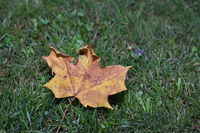 Leaf from a Norway maple tree in autumn