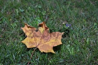 Blatt von einem Spitzahornbaum im Herbst