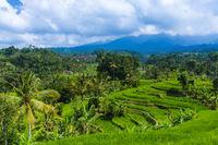 Rice fields - Bali island Indonesia