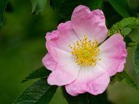 rosa corymbifera