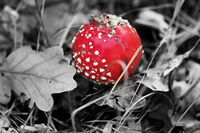 Red amanita muscaria mushroom covered with dry oak leaves