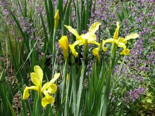Iris spuria Sunny Day, Steppeniris