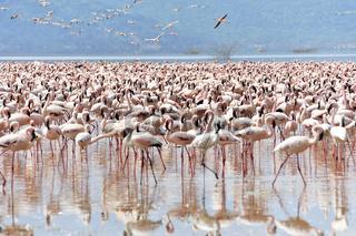 Flamingos im Rift Valley