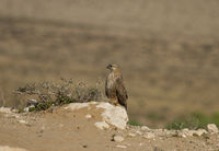 Guelmim, Long-legged Buzzard, Morocco