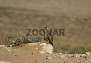 Guelmim, Adlerbussard, Marokko