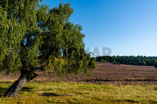 A view of a lone tree in midst of an endless lilac heath landscape