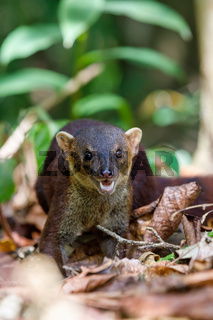 Ring-tailed mongoose, Galidia elegans, Madagascar