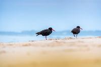 Black Oystercatcher bird