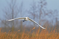Great Egret in the North of Germany