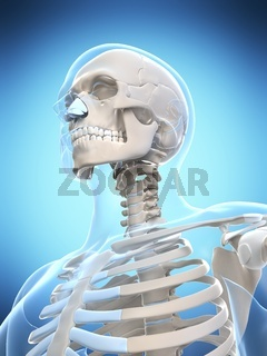 3d rendered illustration of the male skeleton