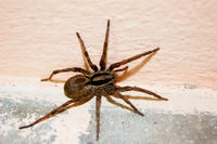 A family of araneomorphic spiders - a funnel spider crawls on a sunny summer day on a warm concrete floor near the wall.