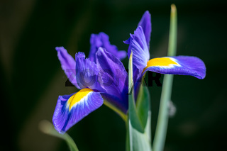 Iris flower blooming  in springtime in an English garden