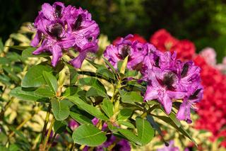 Rhododendron Hybrid Kangaroo, Rhododendron hybrid