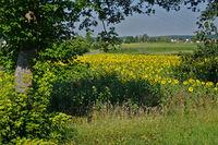Sonnenblumenfeld auf den Härten, Baden Württemberg, Deutschland