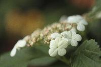 European cranberrybush