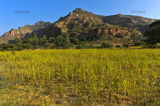 ultivation of Teff grass (Eragrostis tef) on the Hazwien Plain, near Hawzien, Tigray region,Ethiopia