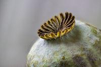 Poppy pod of the Oriental poppy, Papaver orientale
