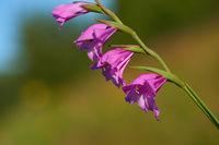 Wild Gladiolus imbricatus