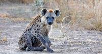 spotted hyena, South Luangwa NP, Zambia, (Crocuta crocuta)
