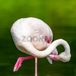 View of a pink flamingo cleaning its feathers while standing on one leg