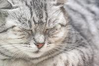 Portrait of a gray cat close up