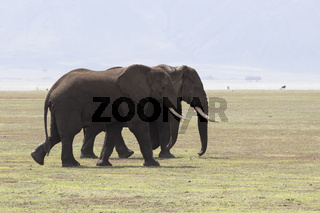 two large adult male African elephant walking on the savannah