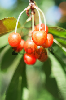 Organic sweet cherry ripening on cherry tree close up, sunny day. natural sunny seasonal background.
