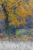 Rotbuche im Herbst / Common Beech in autumn / Fischteiche Waldhuetten - Schleswig-Holstein
