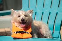 Smiling West Highland Terrier dog in a Halloween costume nautical orange life vest