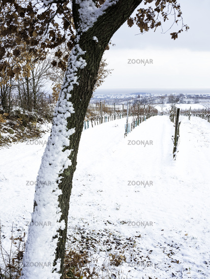 Oak trees in winter with snow