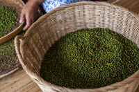 Woman hands over green raw pepper and separates black pepper from red for further drying. Black pepper plants growing on plantation in Asia. Agriculture in tropical countries.