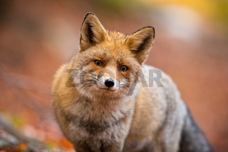 Close-up of red fox standing in autumn forest